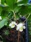 Подофіл  щитоподібний (Podophyllum peltatum) - 2