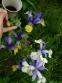 Кодонопсис ломиносоподібний (Codonopsis clematidea) - 5