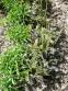 """Нечуйвітер плямистий """"Леопард"""" (Hieracium maculatum """"Leopard"""") - 2"""