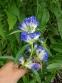 Тирлич даурський (Gentiana dahurica) - 1