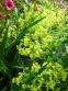 Манжетка м'яка (Alchemilla mollis) - 3