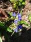 Тирлич даурський (Gentiana dahurica) - 2