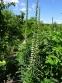 Наперстянка іржава (Digitalis ferruginea) - 5