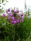 Цибуля схилена (Allium cernuum  Roth) - 2