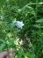 Кодонопсис ломиносоподібний (Codonopsis clematidea) - 4