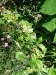 Тирлич тібетський (Gentiana tibetica) - 2