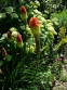 Кніфофія ягідна (Kniphofia uvaria (L.) Hook) - 2