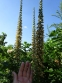 Наперстянка іржава (Digitalis ferruginea) - 1