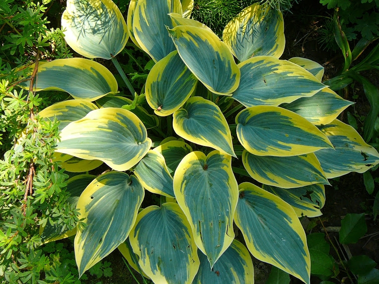 "Хоста ""Ферст Фрост"" (Hosta ""First Frost"")"