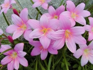 Зефірантес кілеватий (Zephyranthes carinata Herb.)