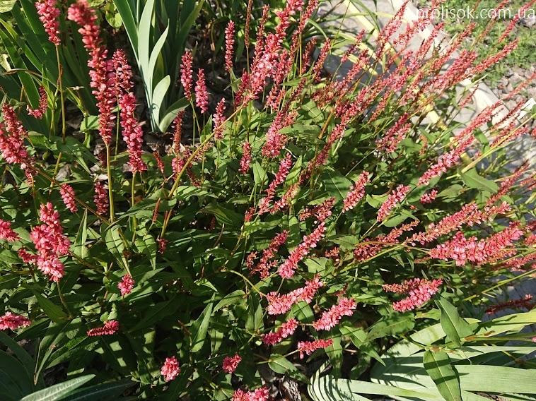 """Горец стеблеобъемлющий """"Файртейл"""" (Persicaria amplexicaule """"Firetail"""") - 1"""