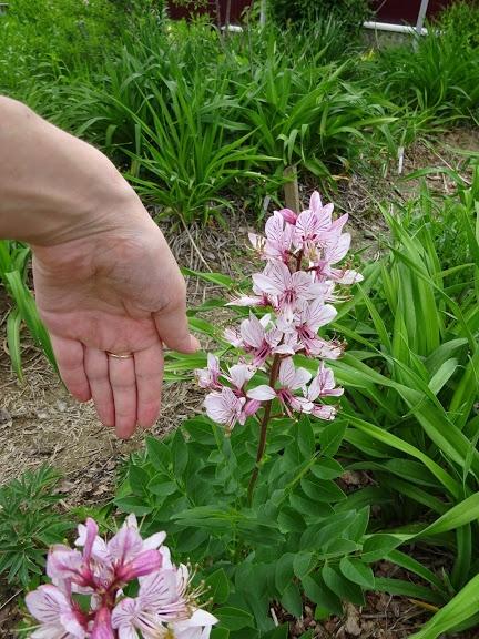 Ясенец белый вариант пурпурный (Dictamnus albus var. purpureus) - 5
