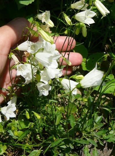 """Колокольчик ложечницелистный """"Альба"""" (Campanula cochleariifolia """"Album"""") - 2"""