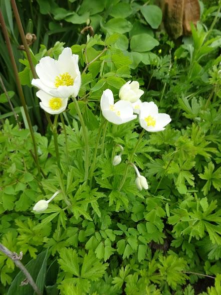 Анемона лесная (Anemone sylvestris) - 3