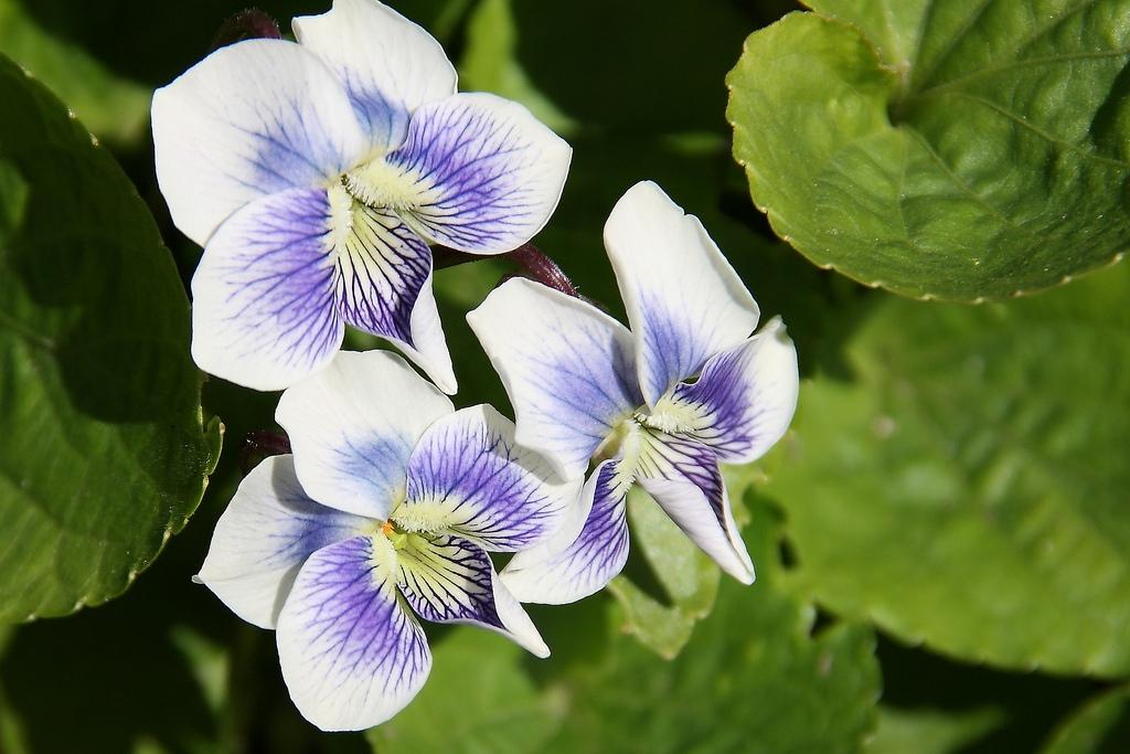 Фиалка сестринская двухцветная природная форма (Viola sororia f. Рriceana) - 1