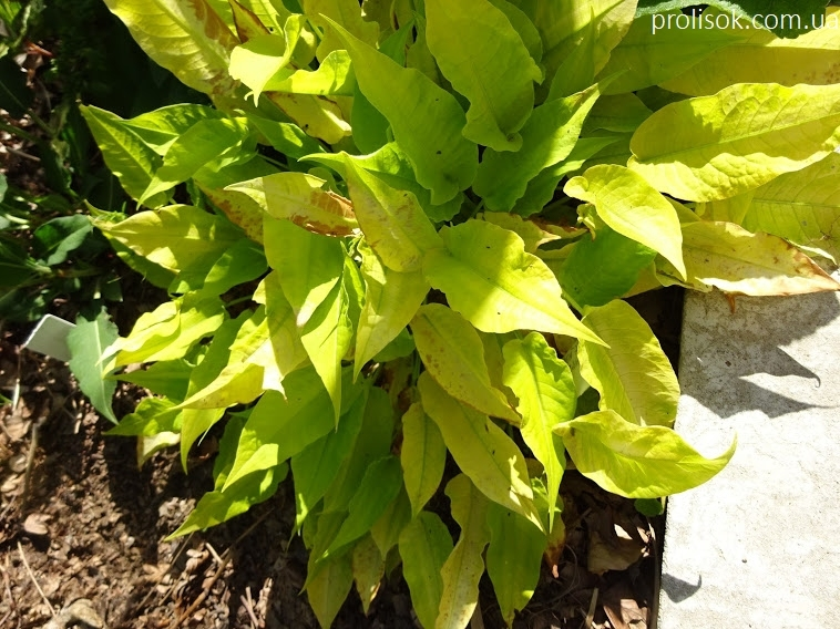 """Горец стеблеобъемлющий """"Голден Арроу"""" (Persicaria amplexicaule """"Golden Arrow"""") - 1"""