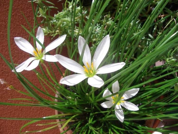 Зефирантес белый (Zephyranthes candida (Lindl.) Herb.) - 1