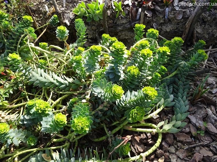 Молочай миртолистный (Euphorbia myrsinites) - 1