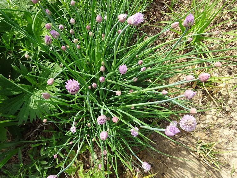 Лук скорода (Allium schoenoprasum) - 4