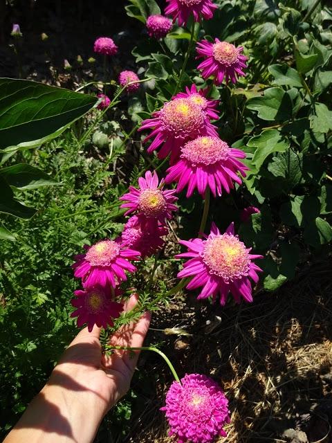 """Пиретрум розовый гибрид """"Ванесса"""" (Pyrethrum roseum hybridum """"Vanessa"""") - 1"""