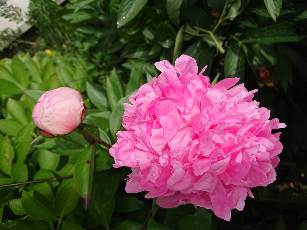 "Пион ""Вивид Роуз"" (Paeonia ""Vivid Rose"") - 5"