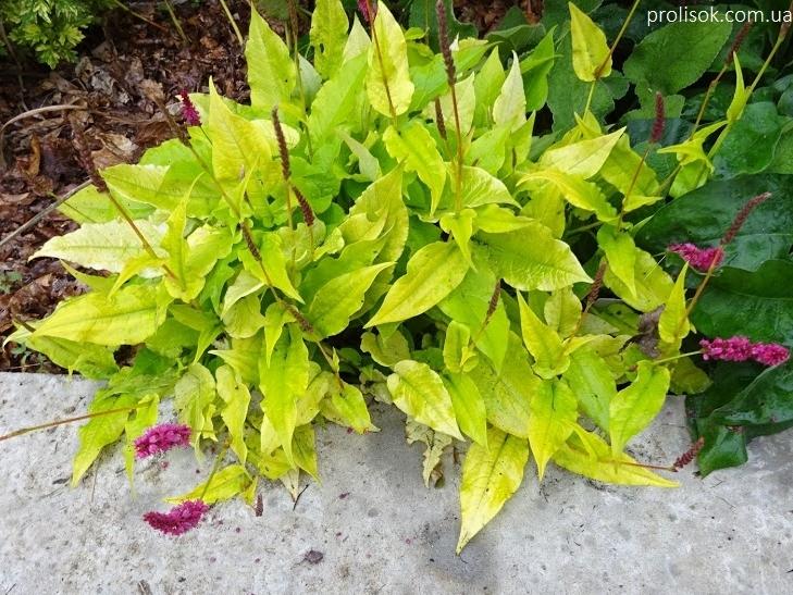 """Горец стеблеобъемлющий """"Голден Арроу"""" (Persicaria amplexicaule """"Golden Arrow"""") - 3"""