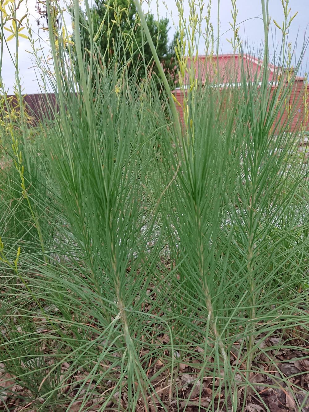 Асфоделина либорнская (Asphodeline liburnica) - 2