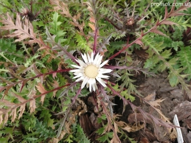 Колючник осотовидный (Carlina cirsioides) - 6