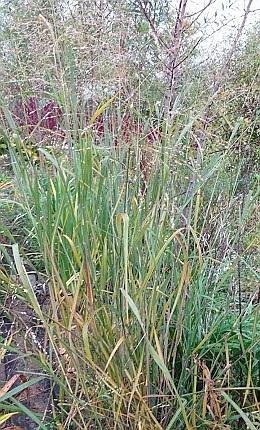 Просо скрытое или Дихантелиум скрытый (Panicum clandestinum, Dichanthelium clandestinum) - 1