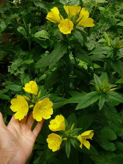 Энотера четырехугольная (Oenothera fruticosa subsp. glauca) - 3