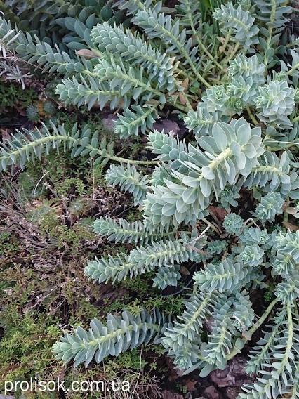 Молочай миртолистный (Euphorbia myrsinites) - 2