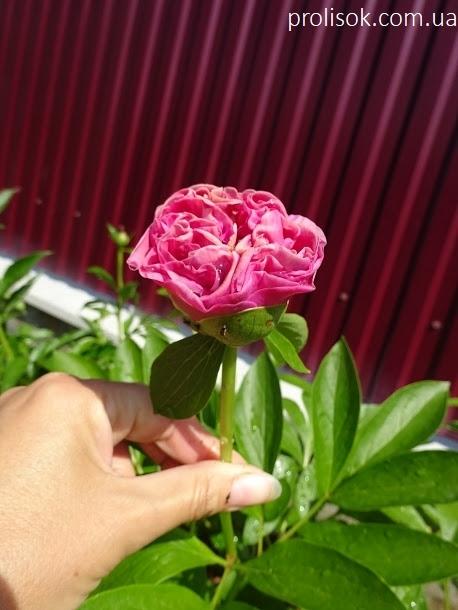 "Пион ""Карнейшен Букет"" (Paeonia ""Carnation Bouquet"") - 1"