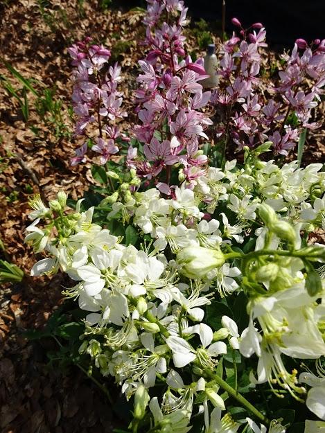 Ясенец белый (Dictamnus albus) - 2