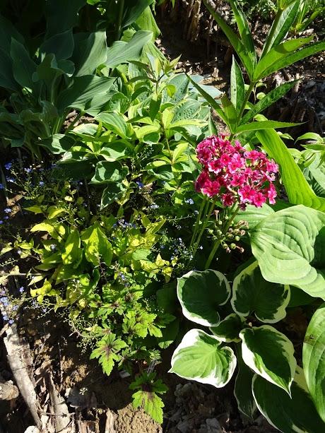 "Бруннера крупнолистная ""Дианас Голд"" (Brunnera macrophylla ""Diane's Gold"") - 1"