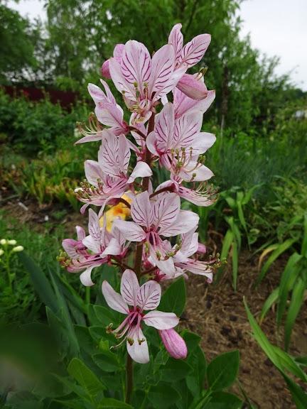 Ясенец белый вариант пурпурный (Dictamnus albus var. purpureus) - 3