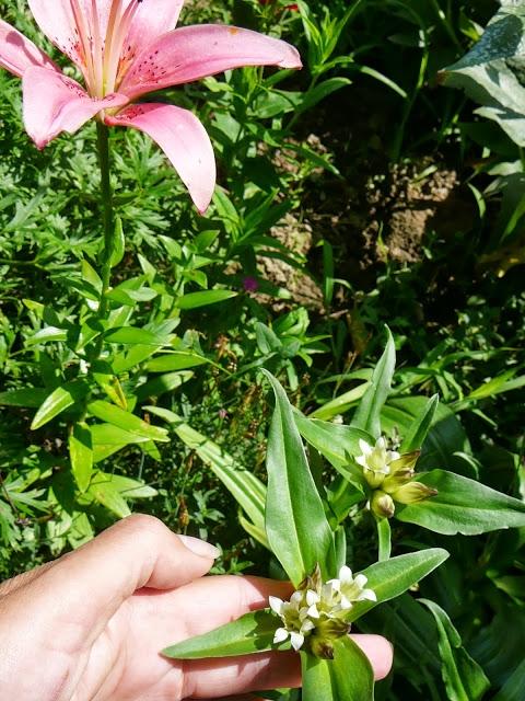 Горечавка тибетская (Gentiana tibеса) - 5