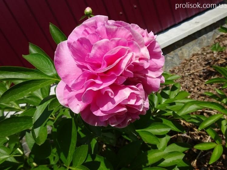 "Пион ""Карнейшен Букет"" (Paeonia ""Carnation Bouquet"") - 2"