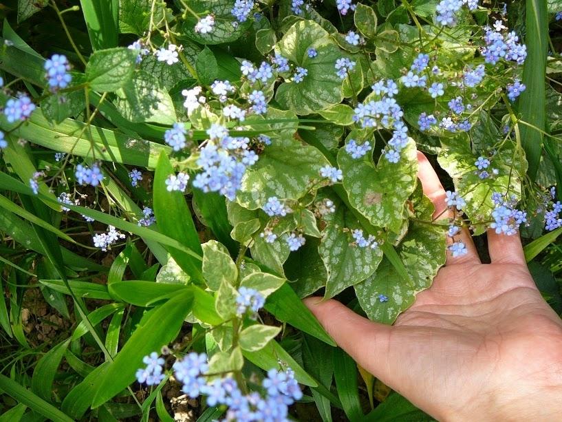 """Бруннера крупнолистная """"Лэнгтриз"""" (Brunnera macrophylla """"Langtrees"""") - 5"""