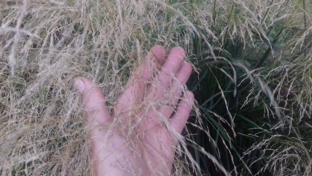 Мюленбергия волосовидная (Muhlenbergia capillaris) - 1