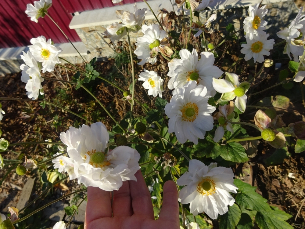 "Анемона японская ""Вирлвинд"" (Anemone japonica ""Whirlwind"") - 1"