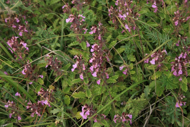 Дубровник обыкновенный (Teucrium chamaedrys) - 1
