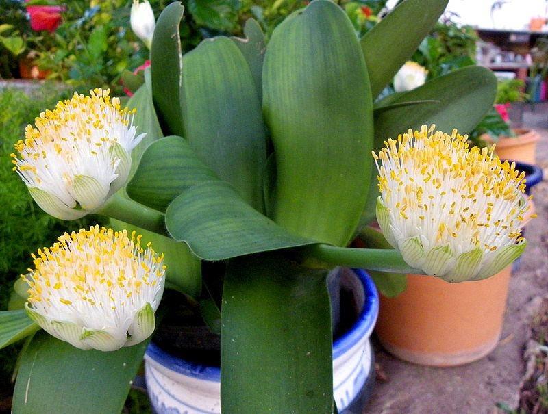 Гемантус белоцветковый (Haemanthus albiflos) - 1