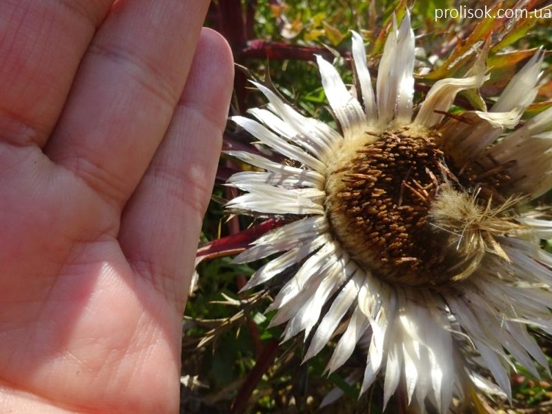 Колючник осотовидный (Carlina cirsioides) - 1