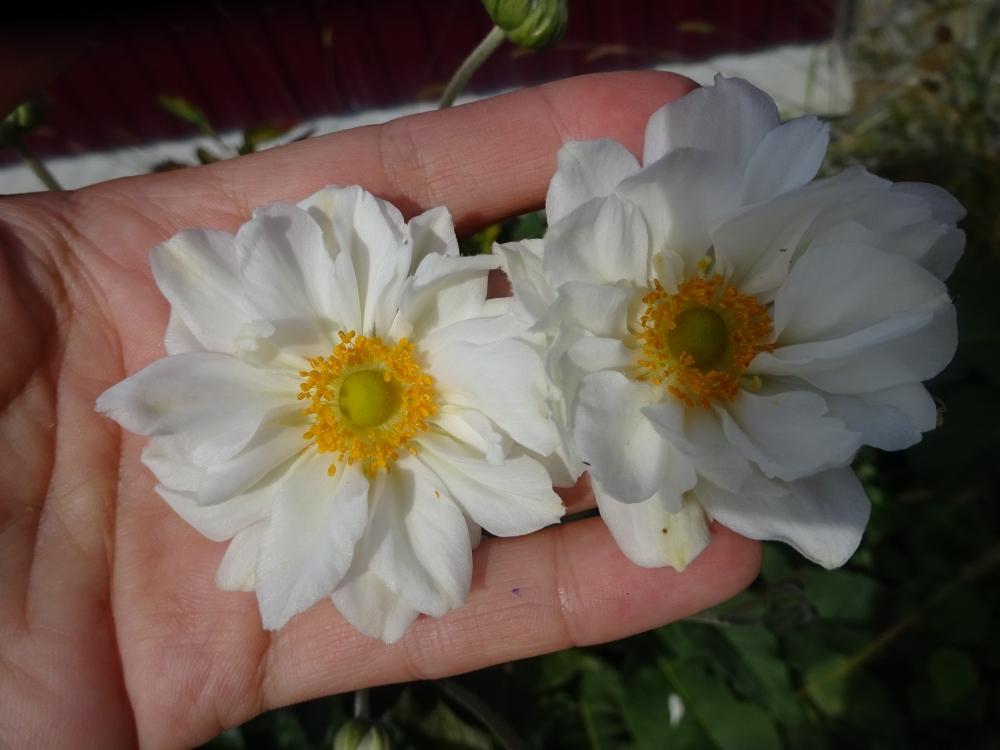 "Анемона японская ""Вирлвинд"" (Anemone japonica ""Whirlwind"") - 4"