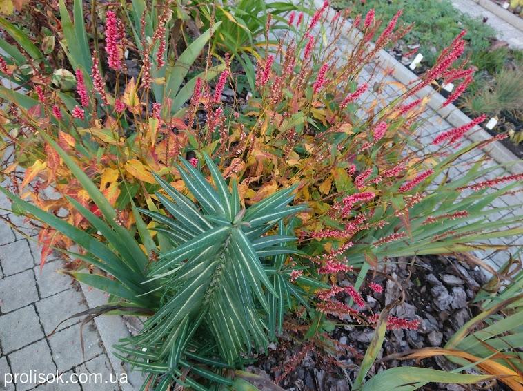 """Горец стеблеобъемлющий """"Файртейл"""" (Persicaria amplexicaule """"Firetail"""") - 9"""