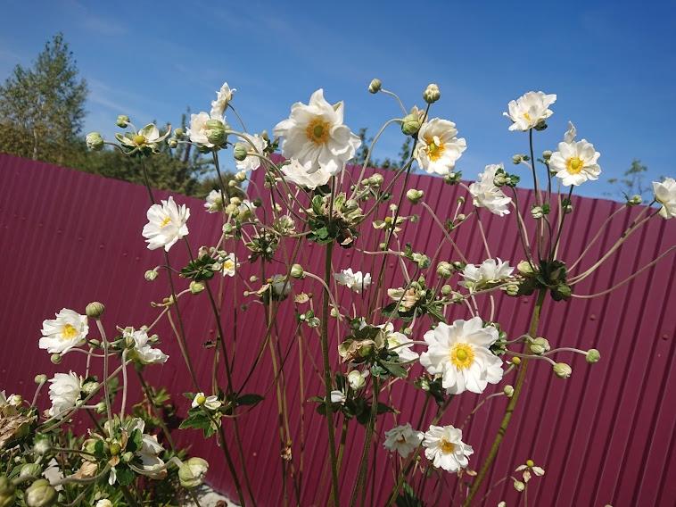 "Анемона японская ""Вирлвинд"" (Anemone japonica ""Whirlwind"") - 6"