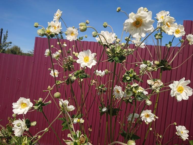 "Анемона японская ""Вирлвинд"" (Anemone japonica ""Whirlwind"") - 2"