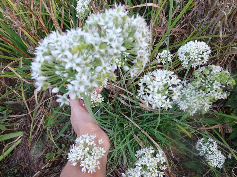 Лук Китайский резанец (Allium tuberosum) - 3
