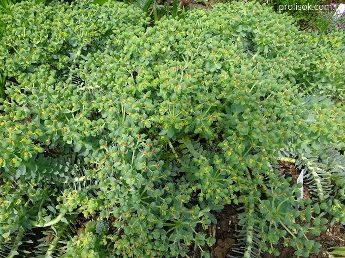 Молочай миртолистный (Euphorbia myrsinites) - 3
