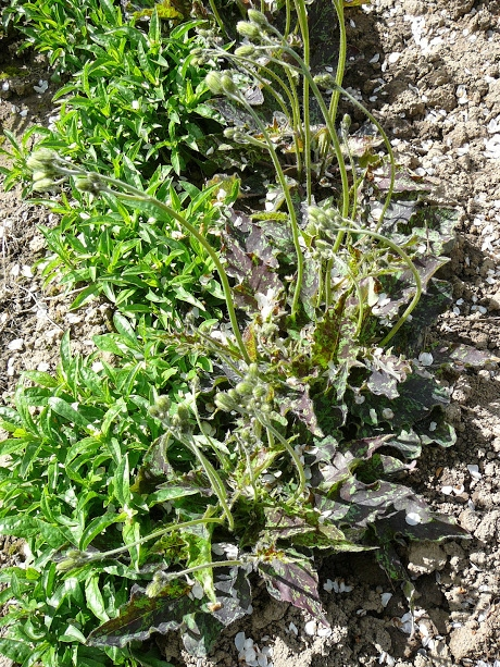 "Ястребинка пятнистая ""Леопард"" (Hieracium maculatum ""Leopard"") - 2"